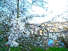 flor-de-almendro