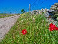 amapolas junto a pared de piedra en camino de Ledesma