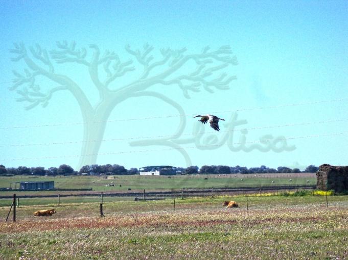 cigüeña sobrevolando campo con vacas